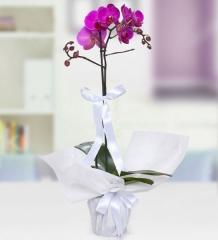 Orkide03 - Tekli Mor Orkide