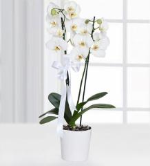 Orkide 01 - Çiftli Beyaz Orkide