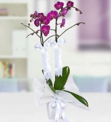 Orkide 02 - Çiftli Mor Orkide